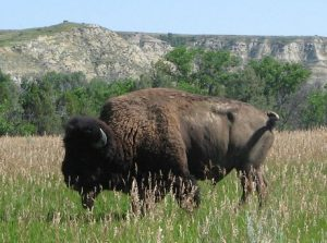 Lonesome Clyde the Buffalo